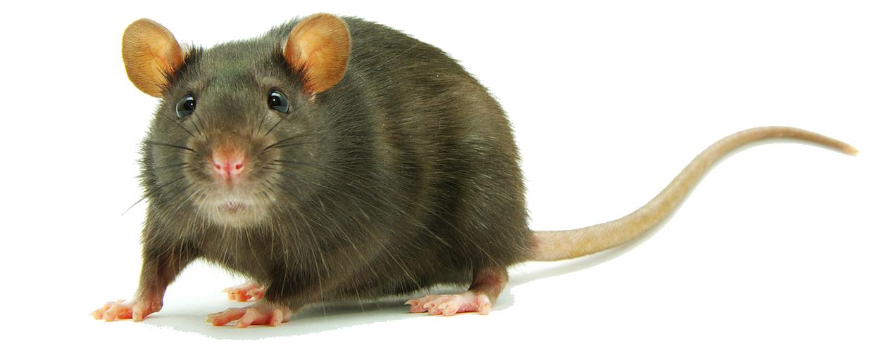 rat-png-clipart